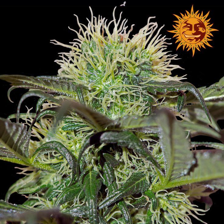 Barneys Farm - Bad Azz Kush Feminised Cannabis Seeds - Buy Cannabis Seeds Online | Dr Chronic Seeds | London | Essex | UK | The Original Cannabis Seed Emporium | The Worlds Best Marijuana Seeds