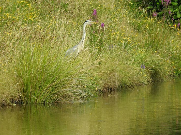 Grey Heron, Wey and Arun Canal, Loxwood, West Sussex
