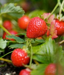 Most strawberry bushes can only produce one harvest of berries in the spring.    However, the new Everbearing variety produces two, sometimes even three harvests of plump strawberries each year.  (This is the kind we just planted.)