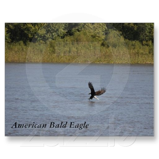 American Bald Eagle ~ Minnesota Postcard