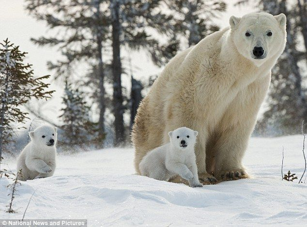 'Say Freeze!': The bear family take time out from their long march towards the sea and ice in Canada's Hudson Bay