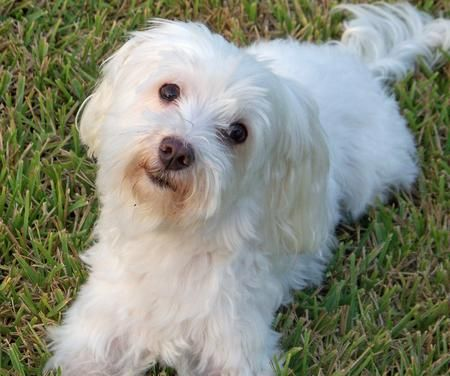 maltese dogs full grown | Dogs, Dogs, Dogs | Pinterest ...