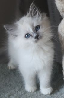 Blue mitted ragdoll kitten with white blaze                                                                                                                                                                                 More