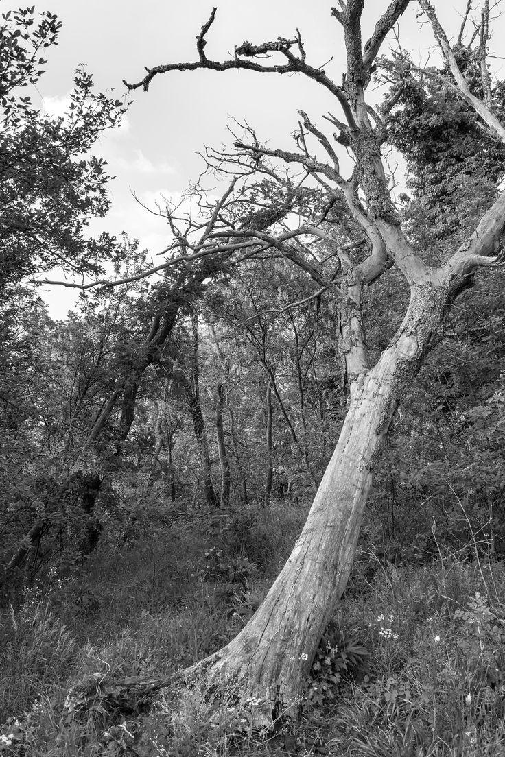 https://flic.kr/p/sYjFNw | dying tree