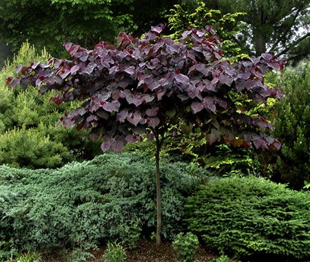Cercis `Forest Pansy'
