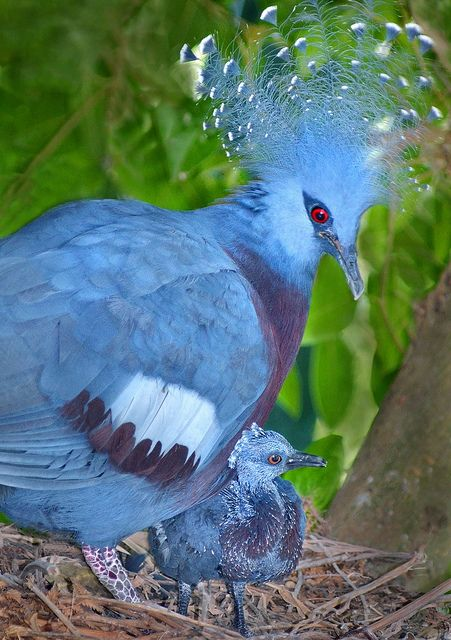 Blue shield  - A Victoria Crowned Pigeon checks on her chick, born recently at the  San Diego