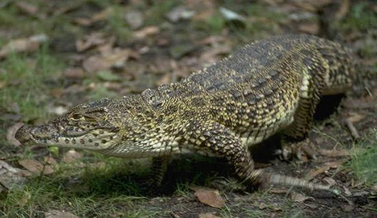 """(Cuba) """"El cocodrilo o Crocodylus habita el planeta desde hace más de 70 millones de años, época en que aún existían los dinosaurios.El cubano es uno de los cocodrilos más pequeños, cuyo largo es como máximo de tres metros. Casi extinto del todo, los pocos ejemplares de este animal viven en su mayor parte en cautiverio. En la actualidad se encuentran en el sureste de Cuba, en la Ciénaga de Zapata y en la Isla de Pinos."""""""