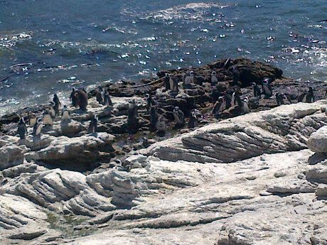 The Stony Point penguin colony in Betty's Bay is well worth the drive. Lots of penguins to be seen seven days a week. In 1982 a penguins started nesting at Stony Point. In 2010, 1 244 breeding pairs were counted. A viewing platform and boardwalk is available for visitors to get very close to the penguins.