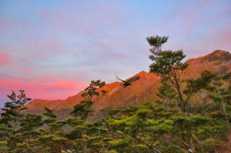 Kea in flight at sunset along the Routeburn Track Great Walk - New Zealand