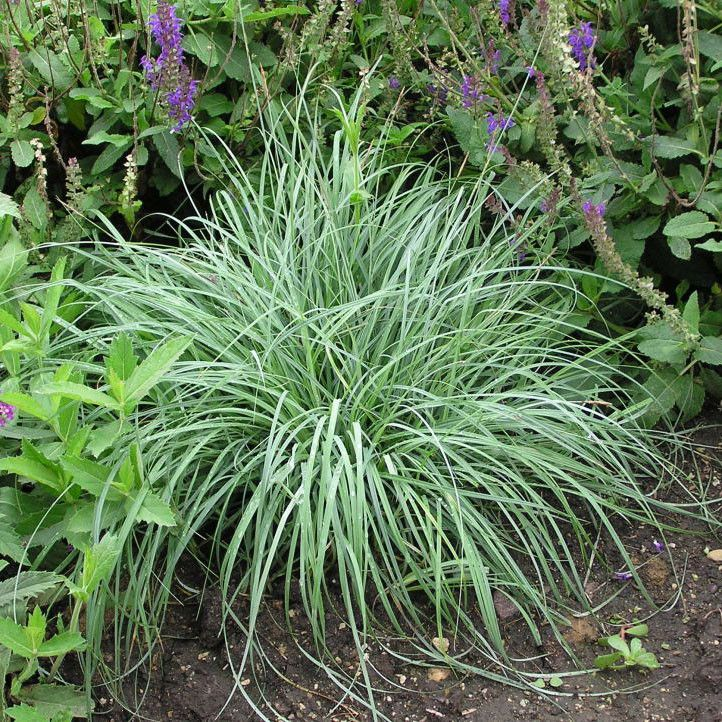 Carex 39 blue zinger sedge 39 grass other beautiful and for Blue ornamental grass varieties