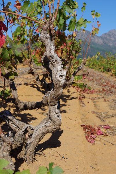 Photographs from South Africa's Kanonkop wine estate, Stellenbosch