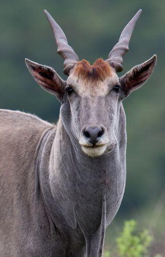 Eland - Taurogragus oryx by Ludi Lochner