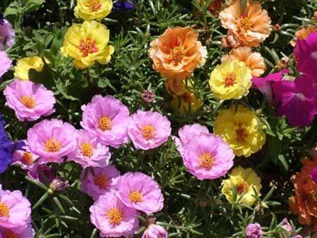 ONZE HORAS 1 Presentes em muitos jardins brasileiros, as onze-horas são flores brasileiras de aspecto delicado, colorido e vibrante. Por aguentarem o sol forte, são ideais para a composição de canteiros, inclusive públicos. Elas florescem na primavera e podem durar até o verão. Aprecem em cores como branco, amarelo, laranja, rosa e vermelho.