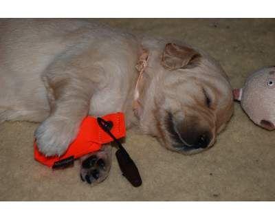 Altro cucciolo di golden retriever. Tenerissimo!