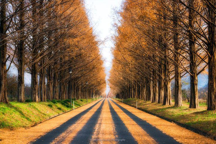 滋賀県高島市メタセコイア並木