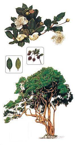 Amomyrtus | Meli (Amomyrtus meli): Se encuentra entre Valdivia y Chiloé. Árbol ...
