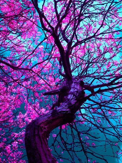 Cherry Tree In Kyoto Japan - those colors can't be real! Description from pinterest.com. I searched for this on bing.com/images