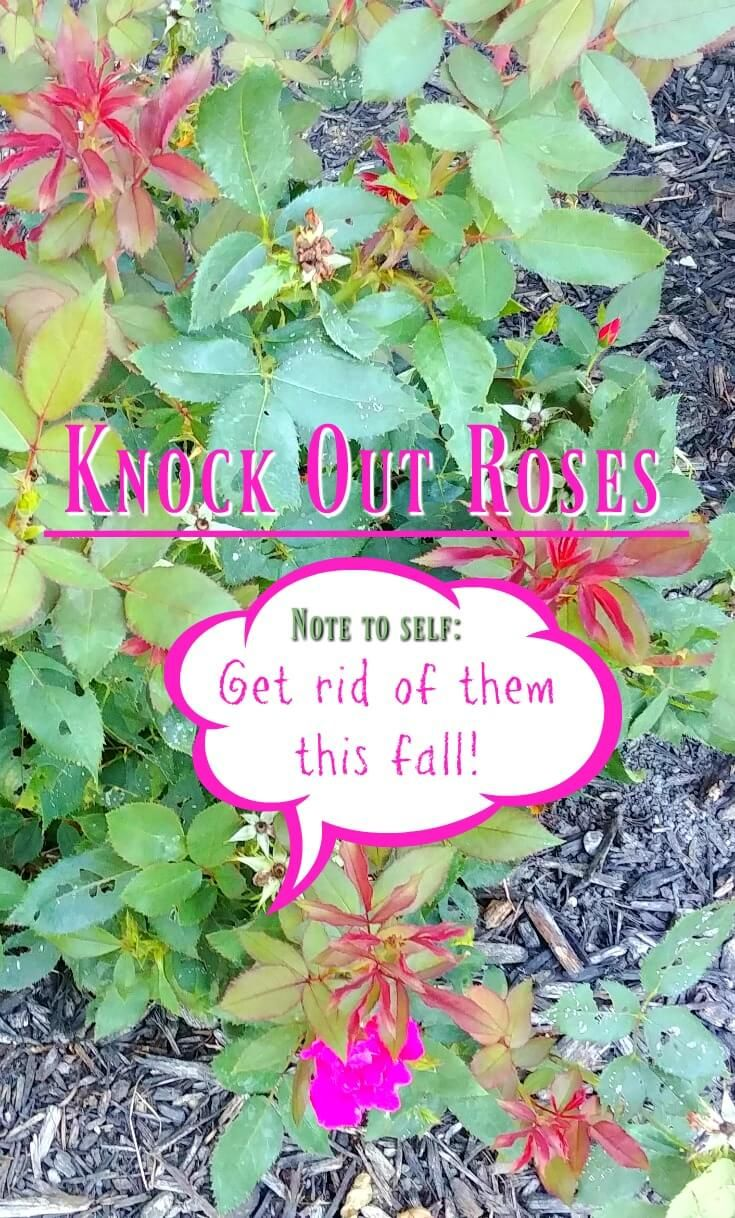 A Newbie With Knock Out Roses Surrenders To Shovel Gardening Blog