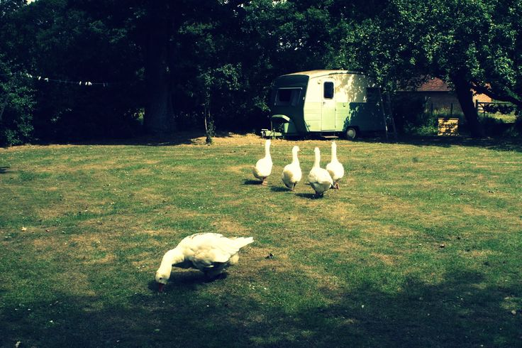 haughty geese