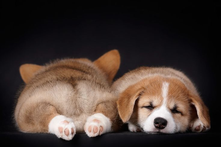 patpat yang kiriii <3 @Cynthia Agustine: Animal Pics, Puppies Pictures, Corgi Butts, Dogs Photography, Corgi Puppies, Corgibutt, Pembroke Welsh Corgi, Animal Photos, Sweet Dreams