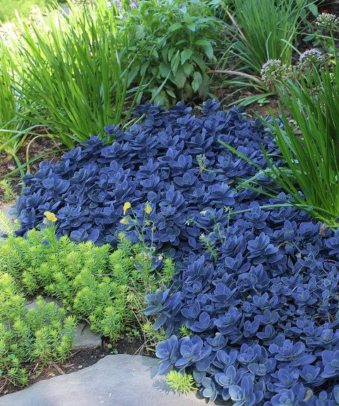 'Blue Pearl' Sunsparkler Sedum