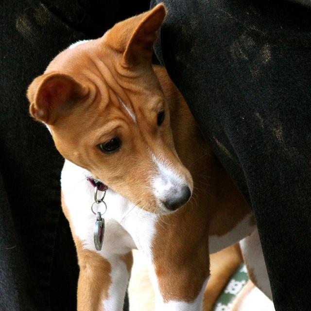 Such a sweet face. Basenji pup