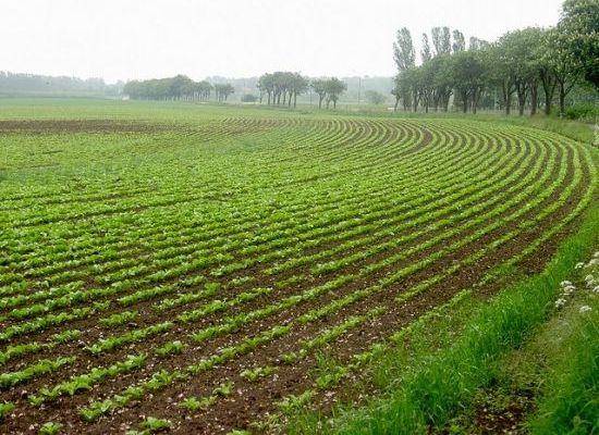 Monsanto�s GMO Roundup Ready Sugar Beets Get Final USDA Approval Very sad #monsanto #gmo #geneticallymodified