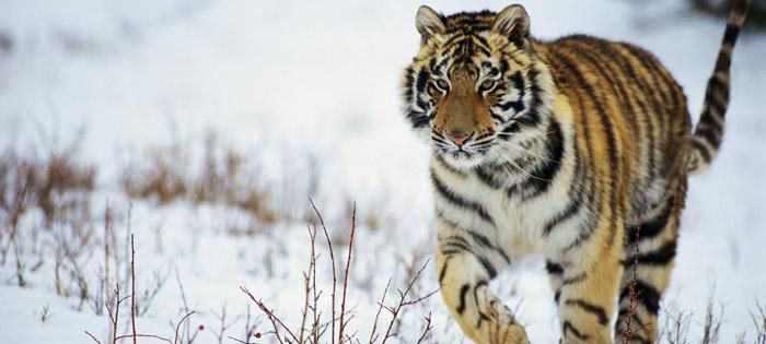 SAVING THE LAST TIGERS- IFAW petition site