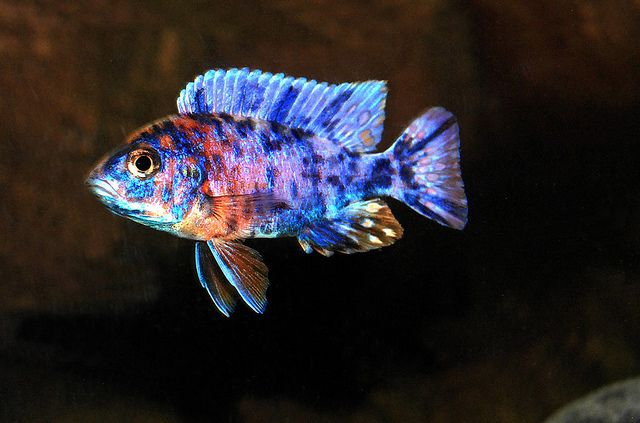 Difference Between Mbuna, Aulonocara and Haplochromis Malawi Cichlids