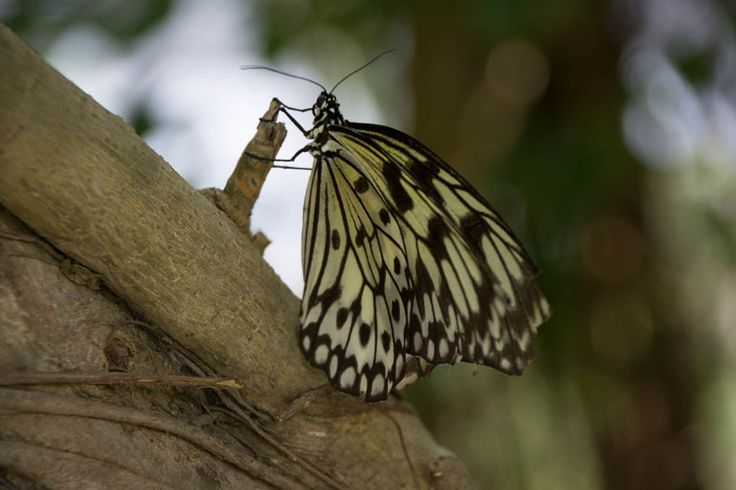 Butterfly from Vietnam