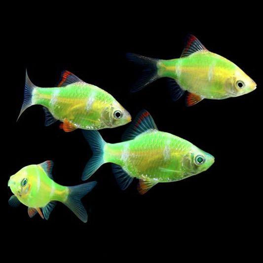 Electric Green Glofish Barb Puntius Tetrazona