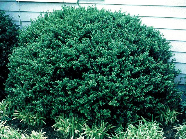 28 Best Pittosporum Images On Pinterest