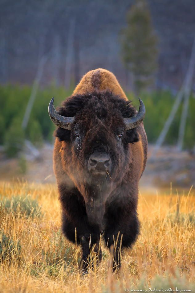 ˚Bison Bull - Yellowstone National Park, Wyoming , so many people DO NOT get that you can NOT approach these beautiful animals. You also must leave the bear and elk alone. Have respect for Yellowstone and the animal's that live there.
