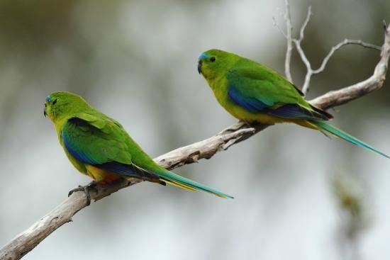 Orange-bellied Parrot (Neophema chrysogaster) Trip Advisor Par Avion. Paulo P, Jan 2015