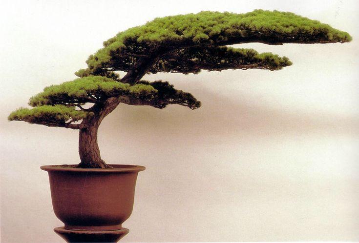 """Pin noir """"Main de Bouddha"""" - Evolution de vos projets - Forums Parlons Bonsai"""