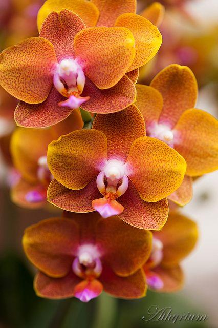#Flowers | #flower | #Orchid Phalaenopsis