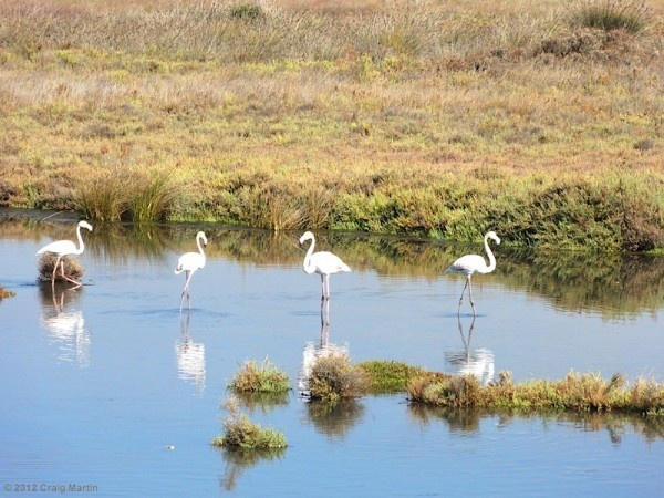 European Flamingos in the Ria Formosa Nature Park, Faro, Portugal