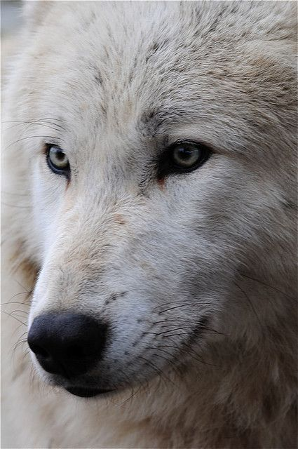 Wolf in my mind.