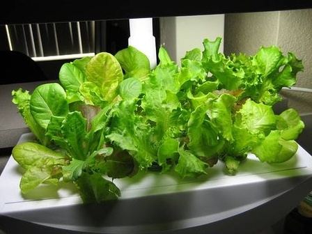 17 Best Images About Indoor Vegetables Growing On 400 x 300
