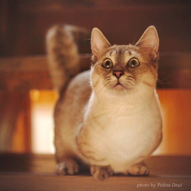 Каспер - кот манчкин (кот-такса). Фотограф Полина Деуль. Kasper munchkin cat…