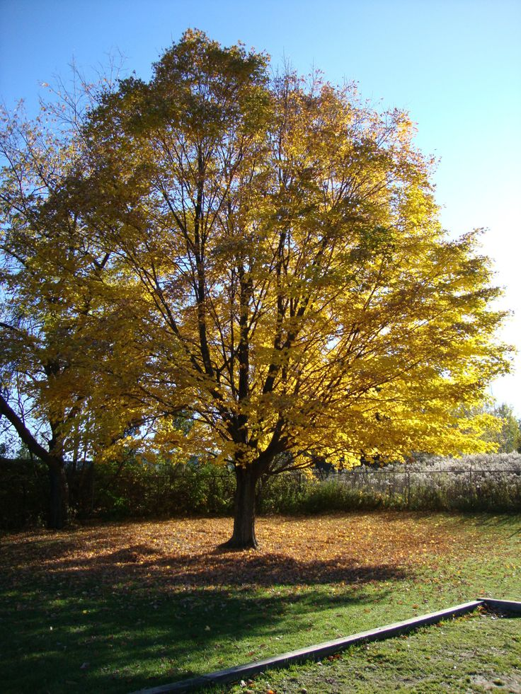 This is my favorite tree from my hometown in Pittsfield