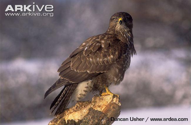 Common buzzard portrait