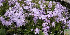 Le Phlox rampant est un couvre-sol intéressant à la belle floraison printanière: comment le cultiver, le tailler et le multiplier ?