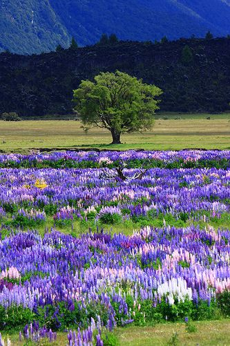Lupin field in New Zealand