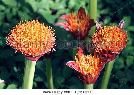 Blood Lily, Cape Tulip (haemanthus Katherinae, Scadoxus ...