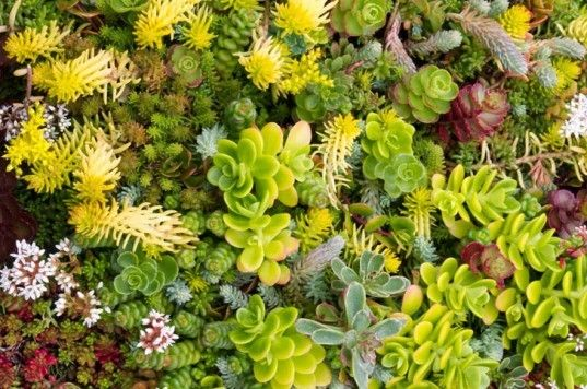 green roof, living roof, succulents, sedums, grasses, herbs, living architecture, DIY, bio-architecture