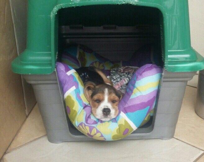 Beagle figura.!!