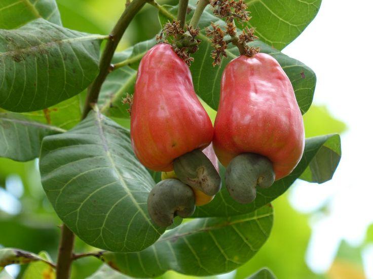 http://faaxaal.forumgratuit.ca/t3415-photo-d-anacardiacee-anacardier-pommier-cajou-noix-de-cajou-anacardium-occidentale-cashew-tree