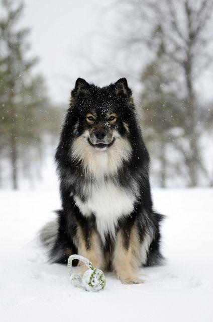 Snowfall   Flickr - photo by Josefin Ruokamo -  Finnish Lapphund, 2 yrs.