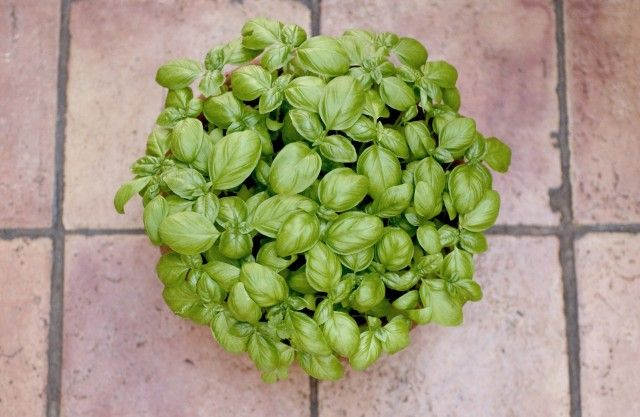 Come coltivare il basilico in vaso sul balcone